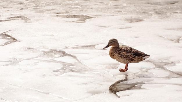Утки гуляют по тающему льду по замерзшему льду на поверхности пруда в парке