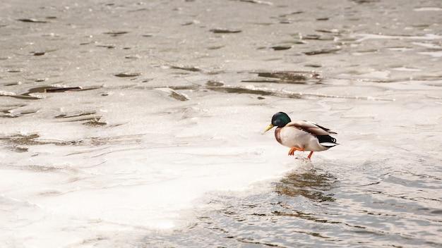 アヒルは公園の池の表面にある凍った氷を溶かして歩く