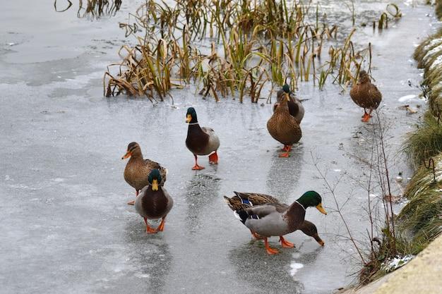 Утки гуляют по льду. перелетные утки зимние.