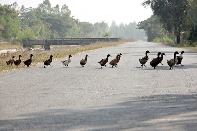 Ducks were crossing the road.