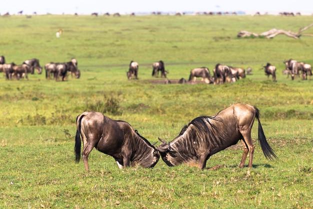Дуэль двух самцов антилоп гну саванна масаи мара кения африка