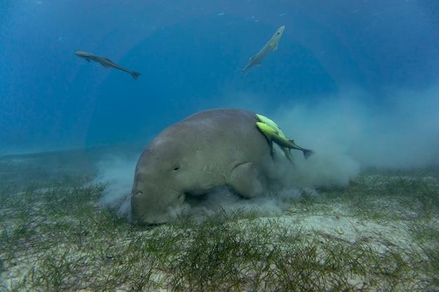 Дюгонь или морская корова едят морскую траву на дне океана