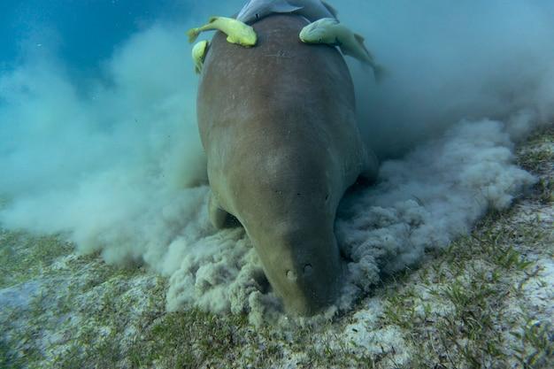 Дюгонь (морская корова) ест морскую траву внизу