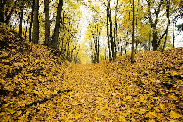 Dull weather in the autumn season in nature, the earth is covered with dark orange foliage, real nature