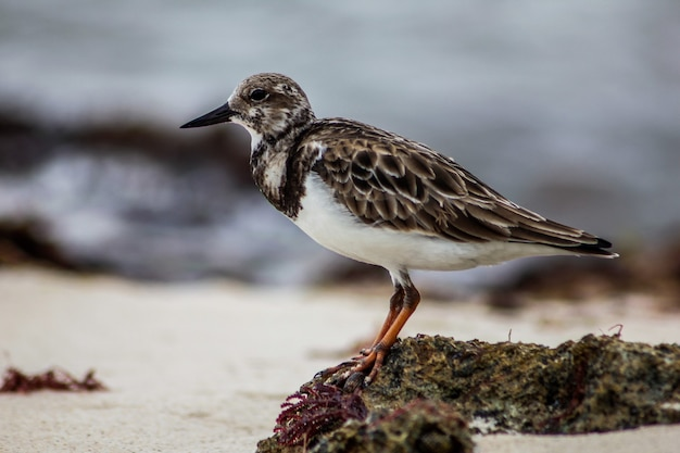 Dulus dominicus moves on beach in dominican republic