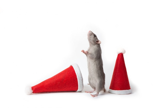 Dumbo rat stands on its hind legs between santa claus hats