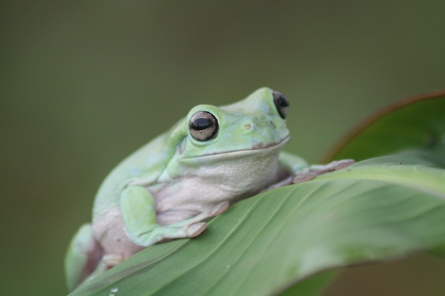 Dumpy frog on leaf