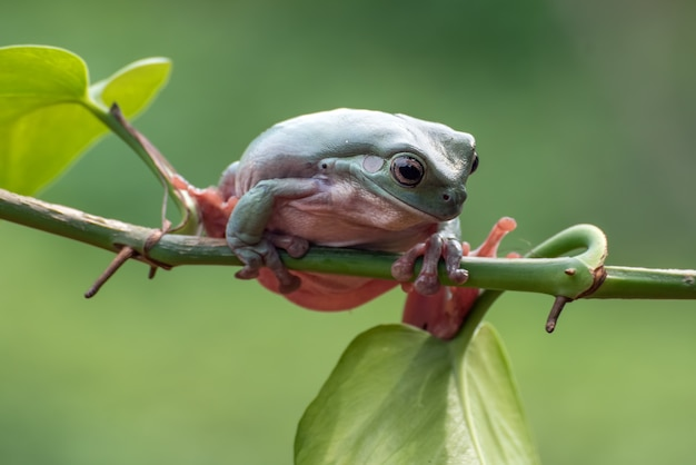 Dumpy frog on a tree branch