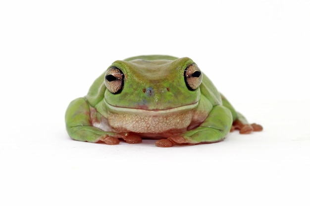 Dumpy frog on white