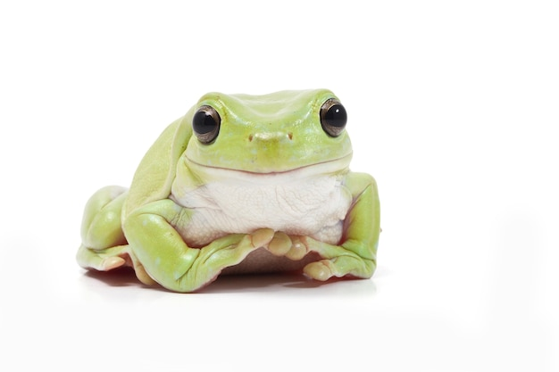 Dumpy green tree frog on white background
