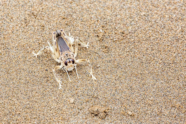 Крикет дюны или schizodactylus salweenensis описан эндемично из реки салвин,