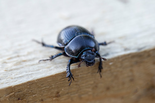 Dung beetle crawling on a wooden board.