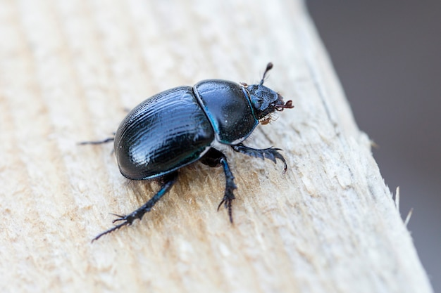 Dung beetle on a wooden surface.