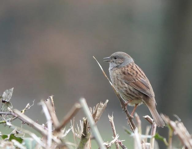 열린 부리로 부러진 나뭇가지에 서 있는 dunnock 새