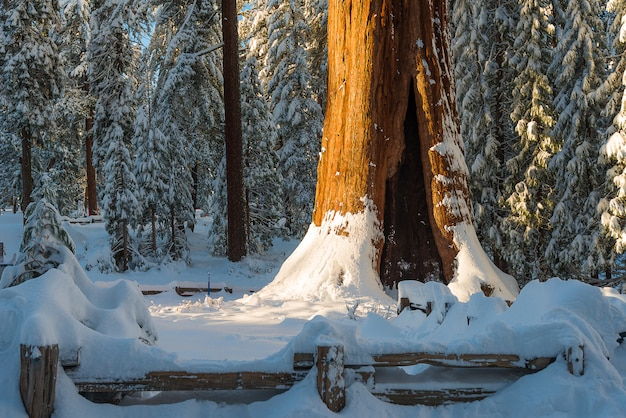 森林dunring冬の巨大なセコイアの木