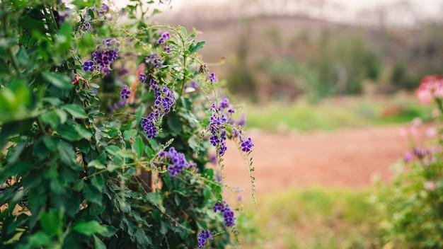 デュランタまたはゴールデンデュードロップは、自然にぼやけた背景に小さな濃い紫色の花の束です。
