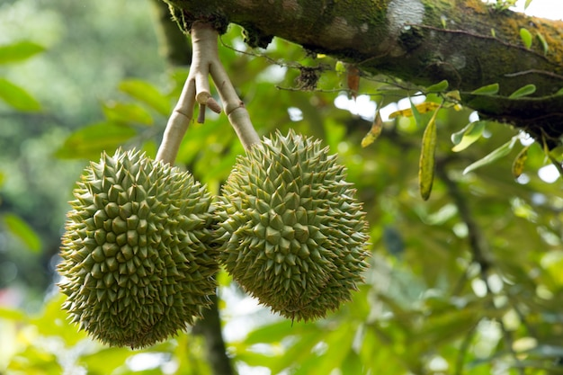 Durian exotic plant