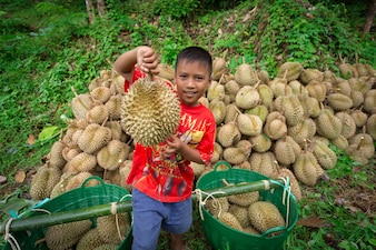 Durian farmers are carrying out from the durian garden