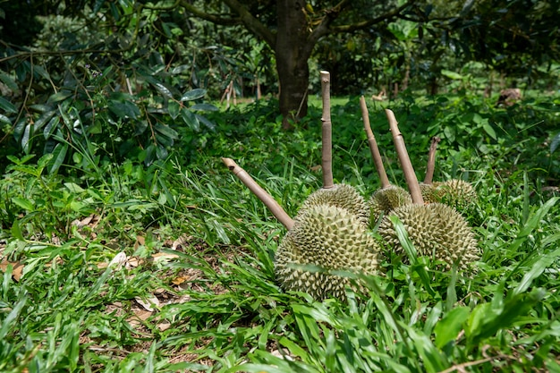 Durian from southern thailand is very popular in china.