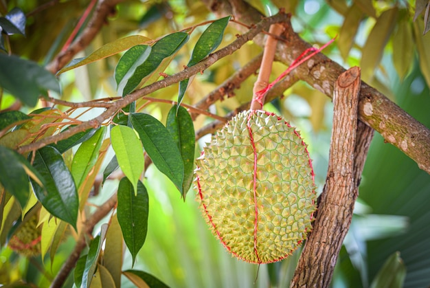 Durian fruit on the durian tree in the garden orchard summer day