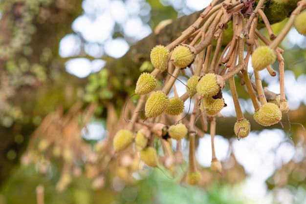 나무에서 자라는 두리안. 태국의 이국적인 열대 과일. 과일왕. 동남 아시아의 유기농 농장에서 맛있는 익은 두리안.