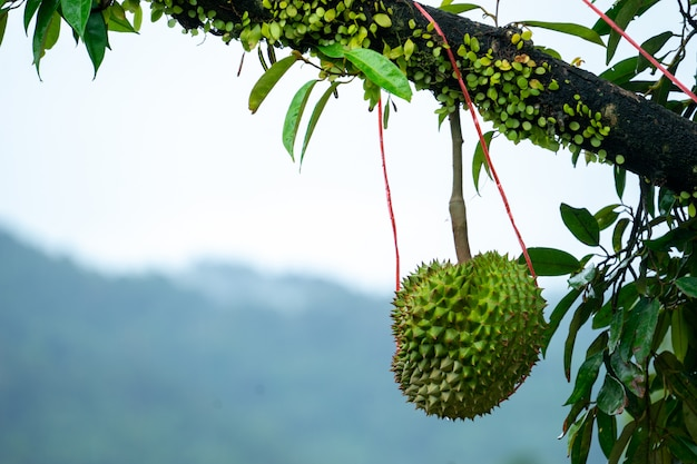 Durian is ready to harvest the products on the tree, waiting for the merchants to buy and export to china.