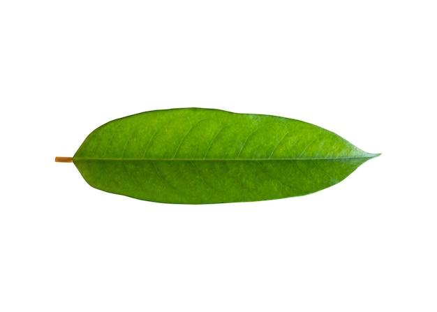 ドリアンの葉植物は白い背景で隔離
