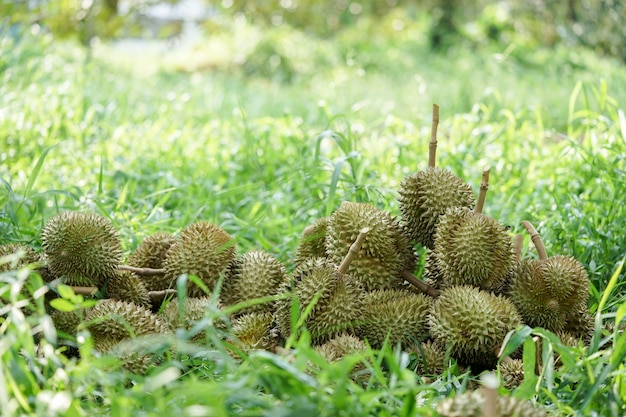 Durian pits that the gardeners cut down from the tree before being sorted and then sold.