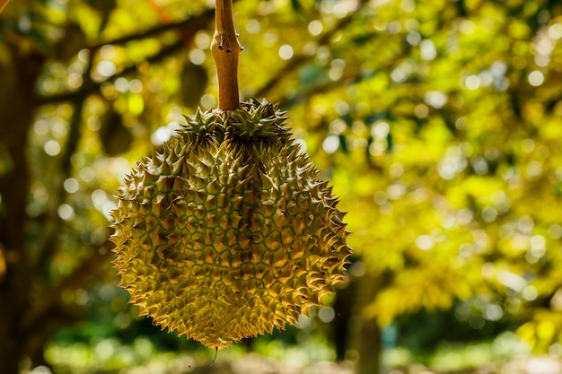 Durian tree in the farm fruit