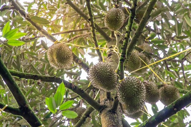 Durian tree, fresh durian fruit on tree, durians mon thong are the king of fruits