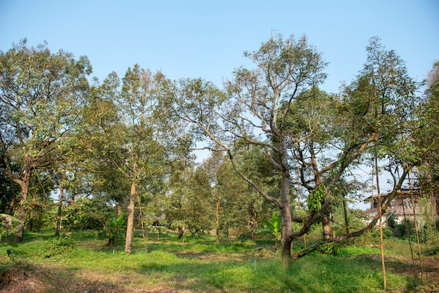 Durian trees of the eastern thai gardeners. very old and produce a lot