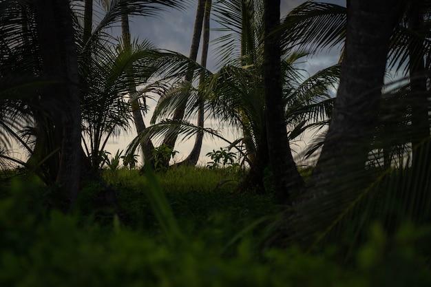 Сумеречный свет в красивых джунглях с пальмами. концепция приключений и путешествий. фото высокого качества