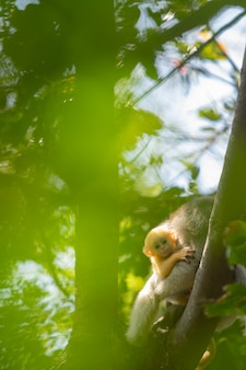 Dusky langur monkey baby with mother on the tree in the forest.