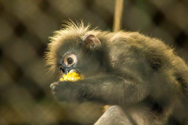 Dusky langurは動物園にあります。