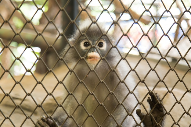 Dusky leaf monkey or spectacled langur in dusit zoo, thailand.