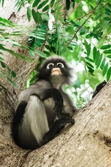 Dusky leaf monkey in thailand