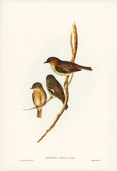 Dusky robin (petroica fusca) illustrated by elizabeth gould (