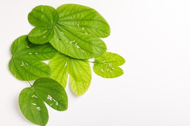 Dussehra leaves