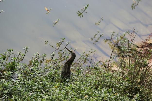 インドアカガシラサギのダッチアングルショット