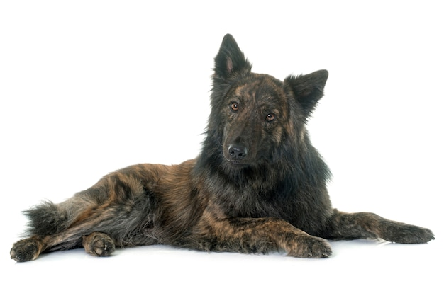Dutch long haired shepherd