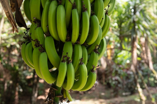 家の裏庭にある矮性バナナの木が足全体を見せています