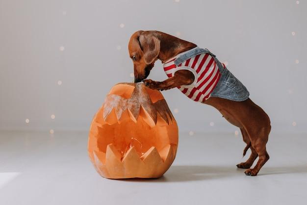 Карликовая такса в собачьем комбинезоне опирается передними лапами на большой фонарь в виде тыквы
