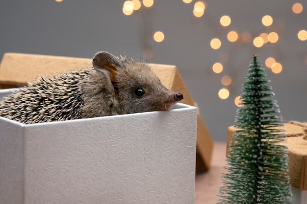 Dwarf hedgehog in gift box and christmas tree.