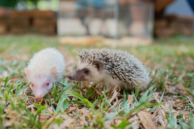 Dwarf hedgehog on ground with blur background