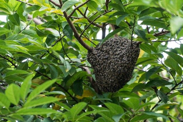 The dwarf honey bee
