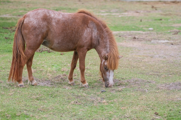 Dwarf horse in farm eating grass, farm in thailand