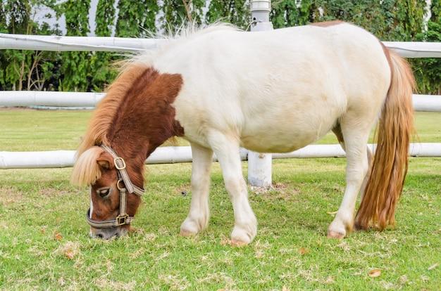 タイの農場で草を食べる小人馬