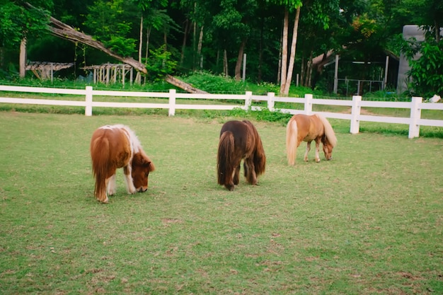 Dwarf horses eating grazing in the farm.