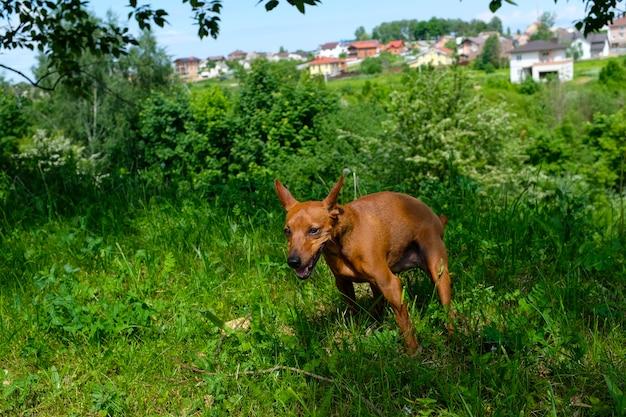 散歩中のドワーフミニピンシャー、自然の中の散歩中の犬、ドワーフピンシャーのクローズアップの肖像画。犬は脱糞します。