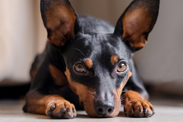 The dwarf pinscher looks into the eyes. portrait of a dog